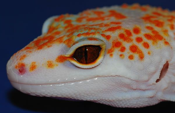 Red Spotted Enigma