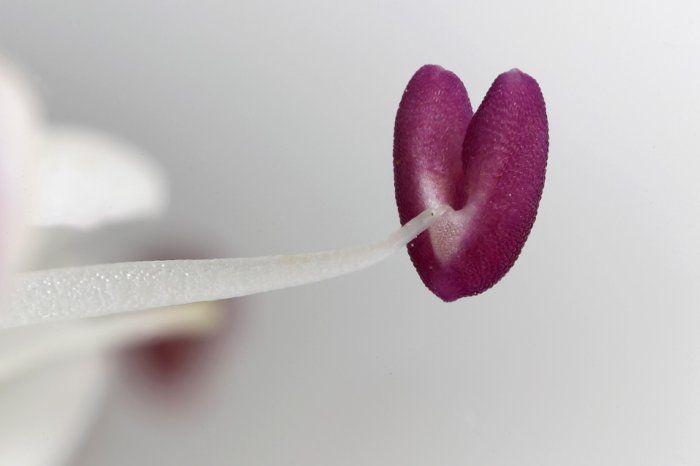 Pink pollen