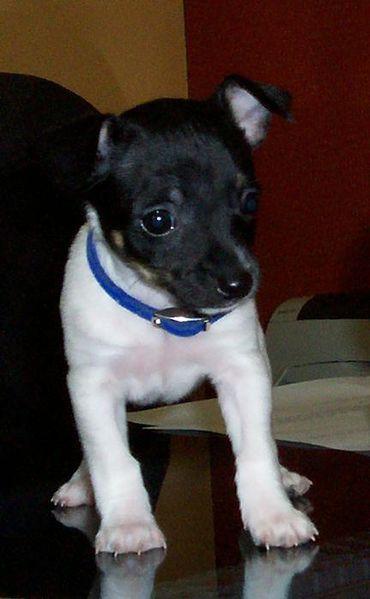 rat terrier puppy.
