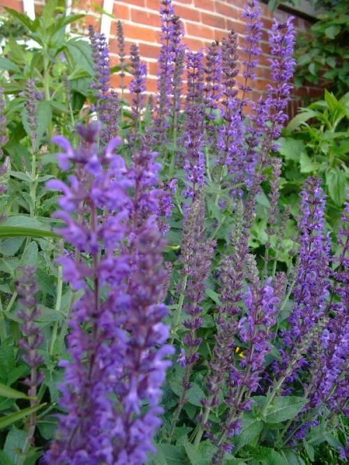 Flowering Plant Sylvestris Woodland Sage Purple Flowering