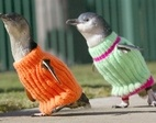 Little Penguins in Warmers!: Cute Penguins, Penguins Sweaters, Oil Spill, Pet, Baby Penguins, Birds, Knits Sweaters, New Zealand, Animal