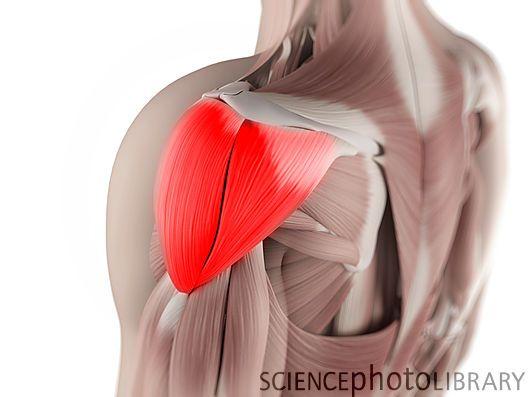 Deltoid muscle, artwork