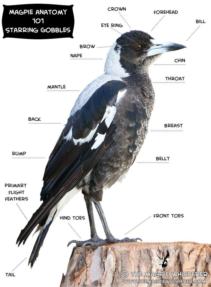 magpie-anatomy