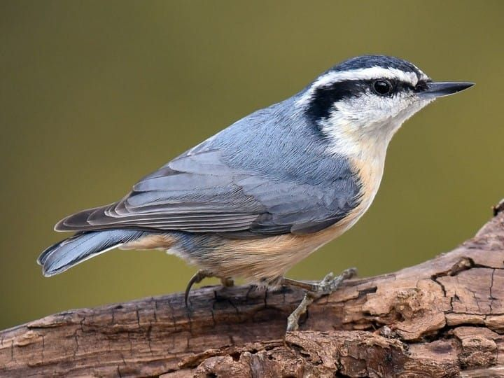 Red-breasted Nuthatch Adult