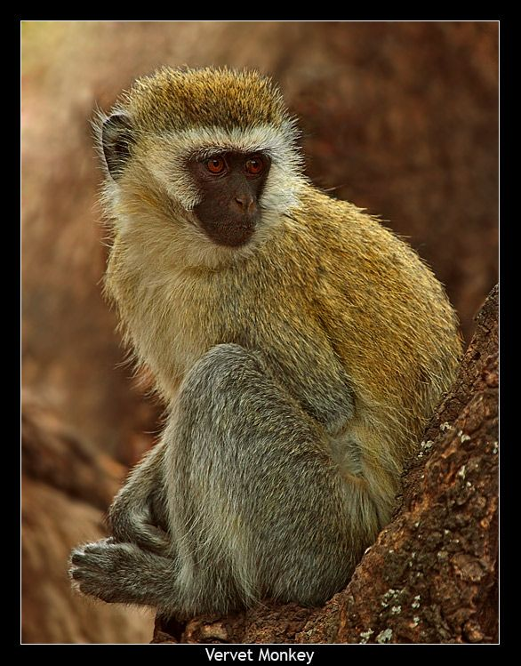 Vervet Monkey by © Ralf Lukovic posted by treknature.com.