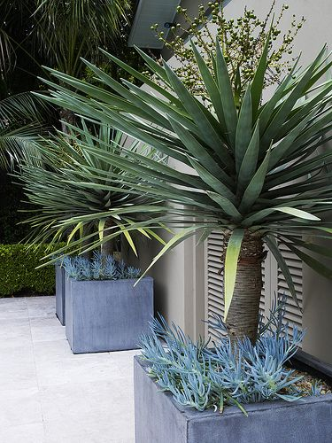 Dracaena draco in pots with Senecio sp. 1