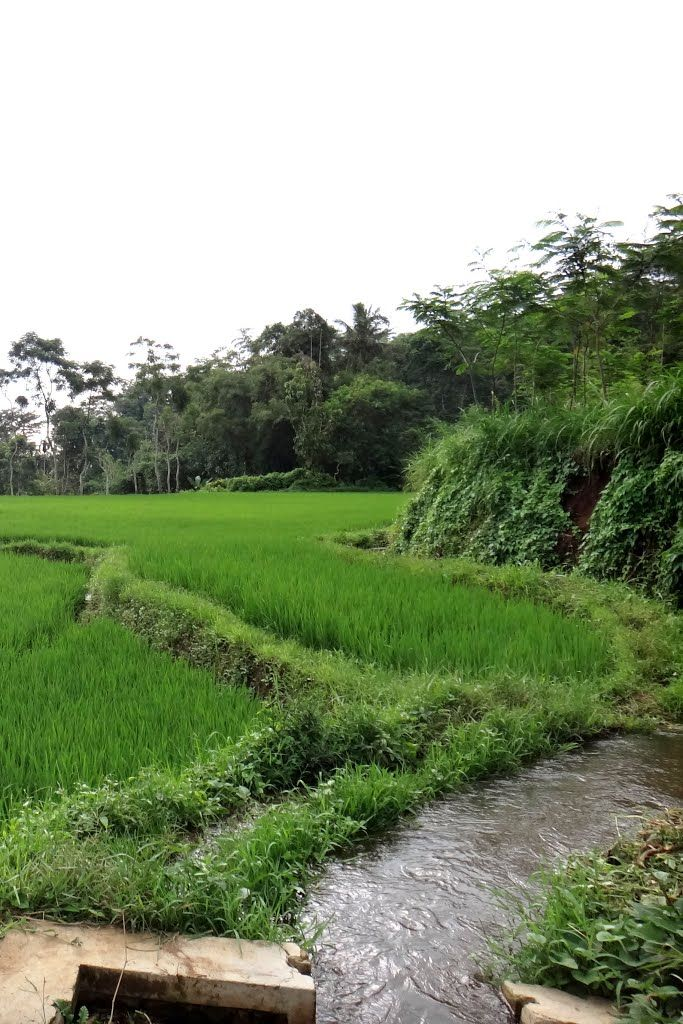 Rice Paddy Farm at Maskuning, Bondowoso
