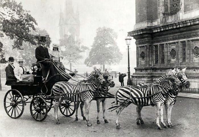 Imgur: Zebras Carriage, Zebras Drawn Carriage, Horses Carts, Hors Carts, Vintage Photo, Buckingham Palace, Photography, Animal,  Horse-Cart