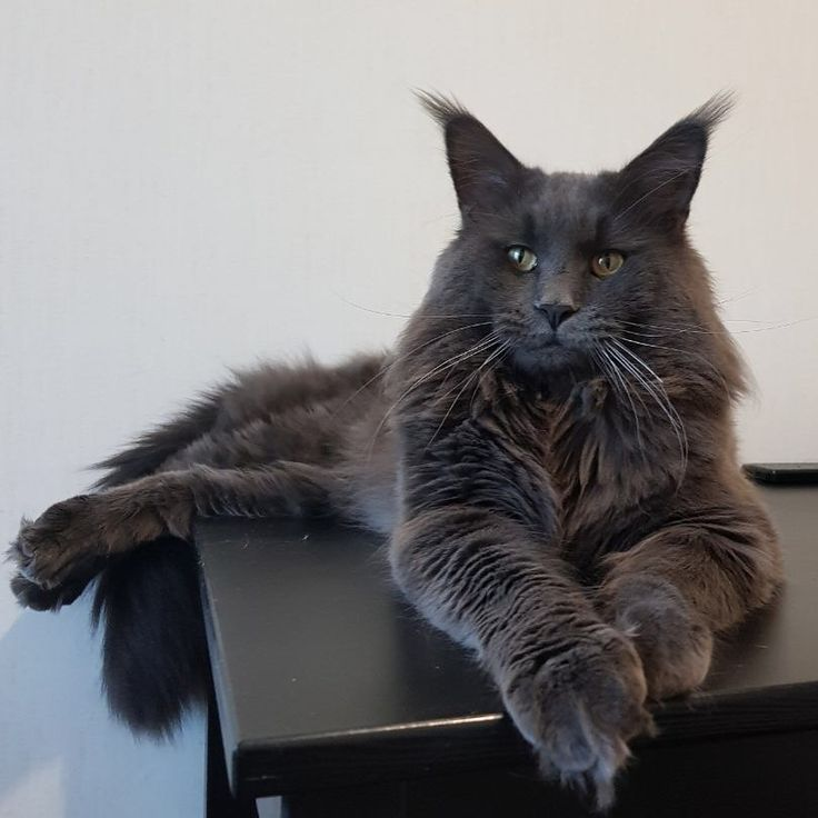 Best Grey Cats Ideas On Pinterest Cute Kitty Cats British - 32 adorable photos cats growing