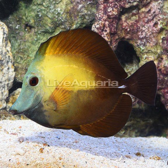 Liveaquaria Zebrasoma Scopas Reef Aquarium Fish Pet Pets