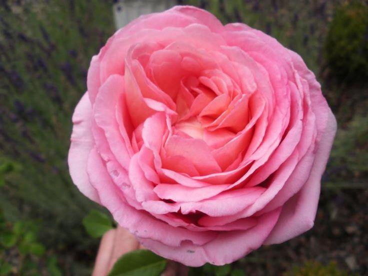 Abraham Darby® - David Austin® English Roses - Roses - Heirloom Roses
