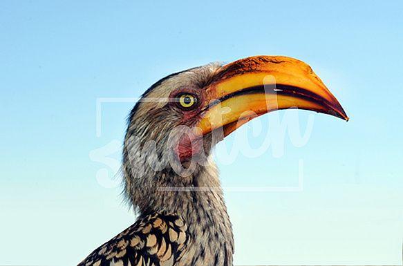 Ground Hornbill Bird