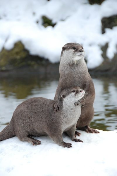 Otters in the snow are magical.