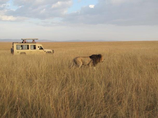 Lion spotting on safari, Africa