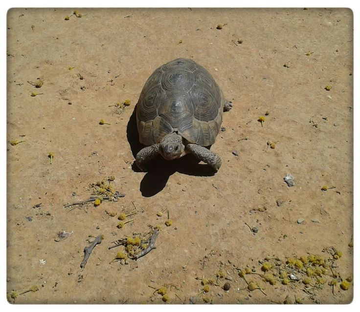 Tortoise at Kleinplasie, Worcester South Africa