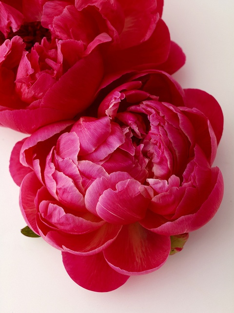 Red Peonies - my all time favorite flower!