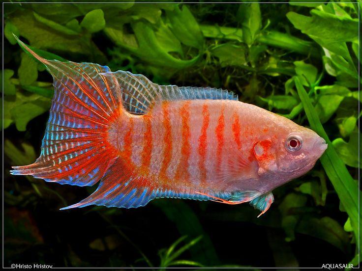 Albino Paradise Fish Paradise Fish Beautiful Freshwater