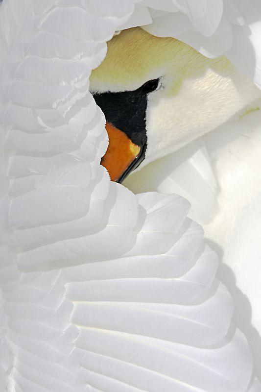 die besten 25 schwan ideen auf pinterest schw ne schwarzer schwan und der schwarze schwan. Black Bedroom Furniture Sets. Home Design Ideas