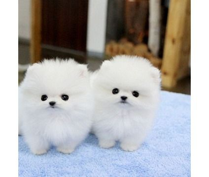 GJDQR Teacup Pomeranian Puppies For Sale is a Pomeranian Puppy For Sale in Chicago IL