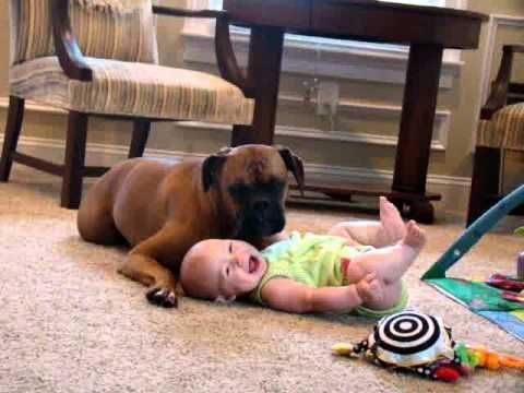 Baby laughing from loving Boxer's cuddles is the sweetest thing you'll see today (VIDEO) » DogHeirs | Where Dogs Are Family « Keywords: Boxer, Baby, cuddle, snuggle