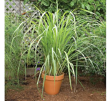 citronella or west indian lemongrass - mosquito repelling plants...I need to remember this...