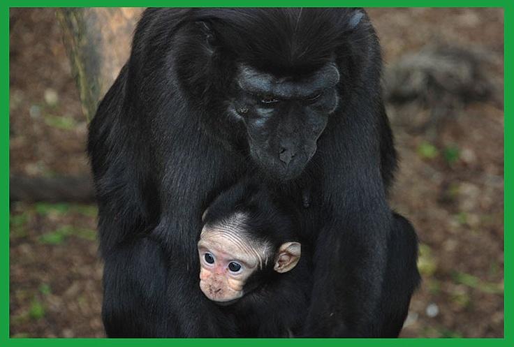 Wira é o nome deste filhotinho de macaco recém nascido, que vive em um zoo de Londres, na Inglaterra, e aqui aparece abraçado com a mamãe. O bebê agora tem olhos azuis brilhantes e pele clara, mas quando crescer ficará mais parecido com os outros da sua espécie (15/3/2012)