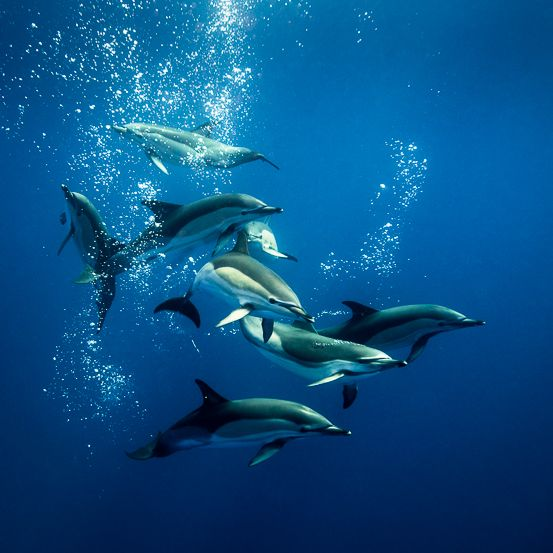 common dolphins azores_l