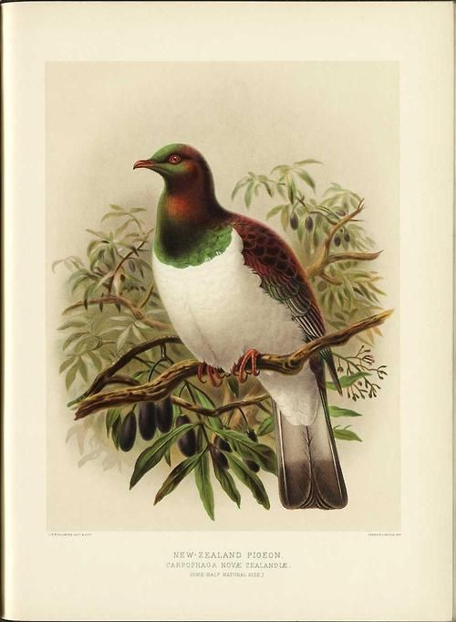 Sir Walter Lawry Buller - New Zealand Pigeon - Carpophaga novea Illustration from A History of the Birds of New Zealand, 1888