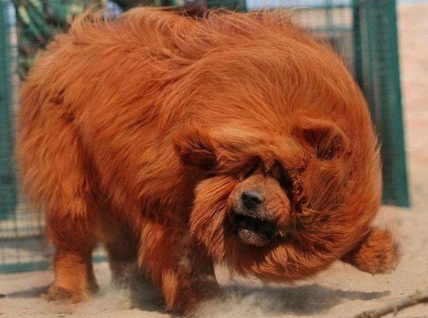 Тибетский мастиф. Самая дорогая собака на земле ! | KaifZona.Ru