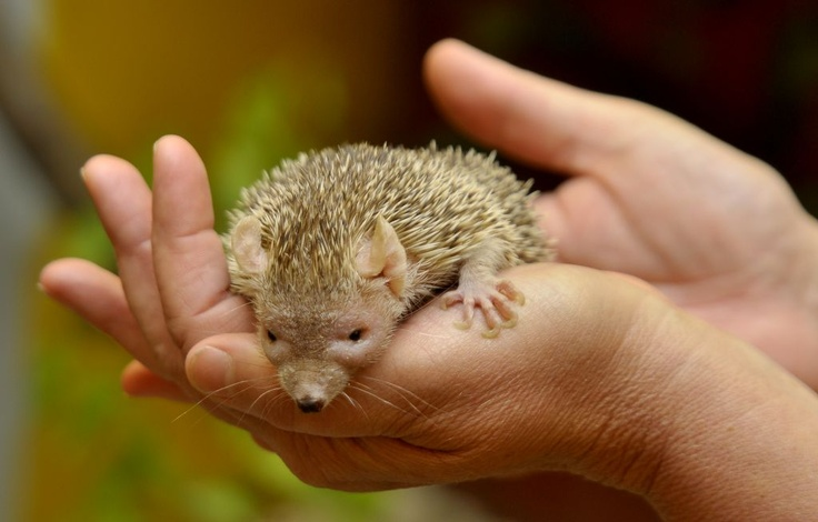 Rare Madagascan Tenrecs that will be on display at the #Randfontein Show.