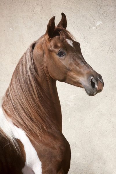 Lovely Pinto Arabian cross!