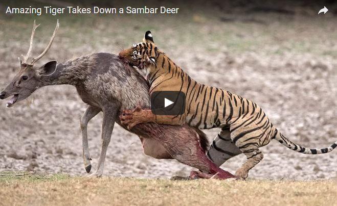 Panthera tigris, Tigre indiana, tigre del bengala, , famiglia Felidae
