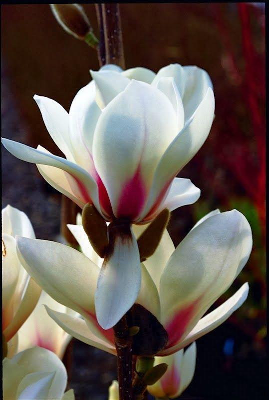 Magnolia Inspiração