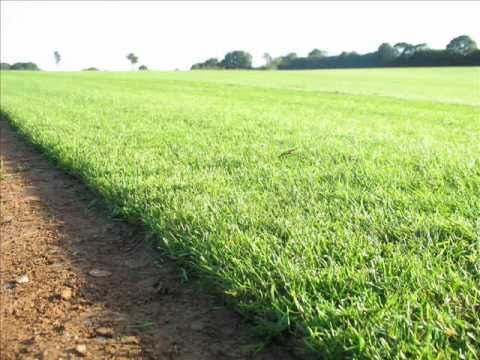 YouTube Video:  http://www.freshturf.co.uk Turf Suppliers, growing turf on a UK Turf Farm. Turf production process including stone burier, grass seeder, Kesmac gang mowers and cutting turf. Lawn turf suppliers for gardens across the UK.