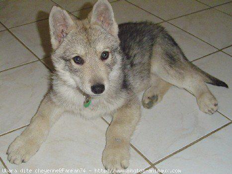 chien loup tcheque