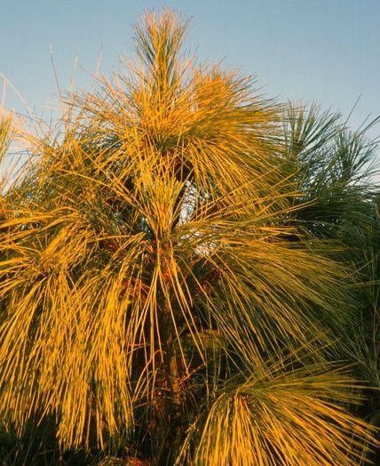 Pinus wallichiana ' Zebrina ' Golden Himalayan Pine
