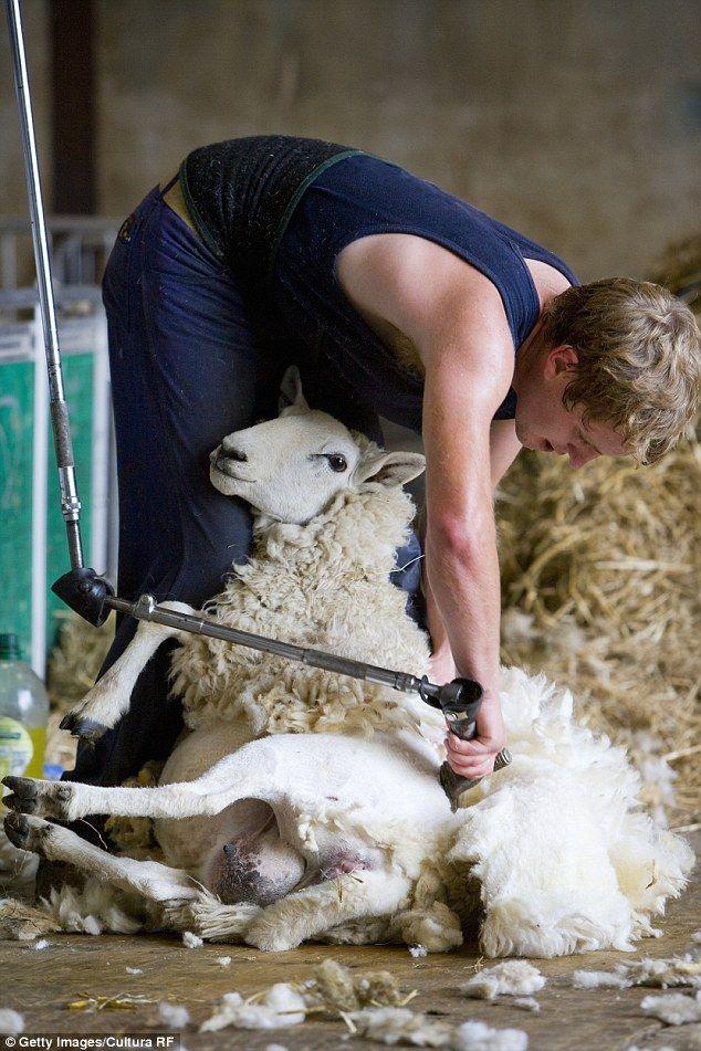 A sheep shearer's response to PeTA's anti-wool campaign.