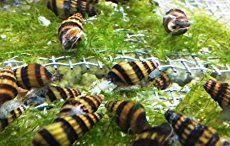 3 Tips to Get Rid of Pond Snails in an Aquarium without Using Chemicals