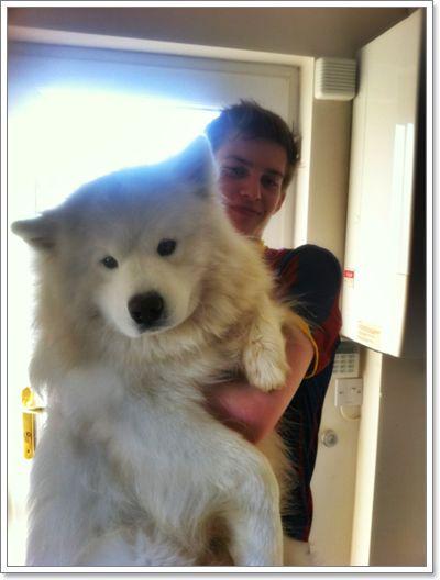 samoyed giant dog…he's a giant stuffed animal!! want