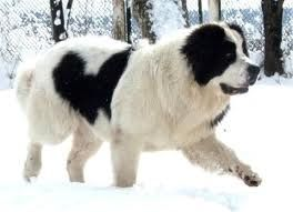 landseer Newfoundland - Our very favorite family dog looked very similar to this one. Her name was Snowby, she was gentle, kind to everyone, loved the Montana weather and received our hugs without hesitation.