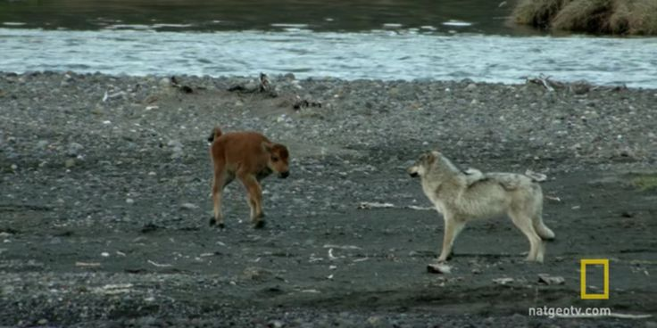 This Battle Between A Baby Bison And Wolf Will End The Last way You Ever…