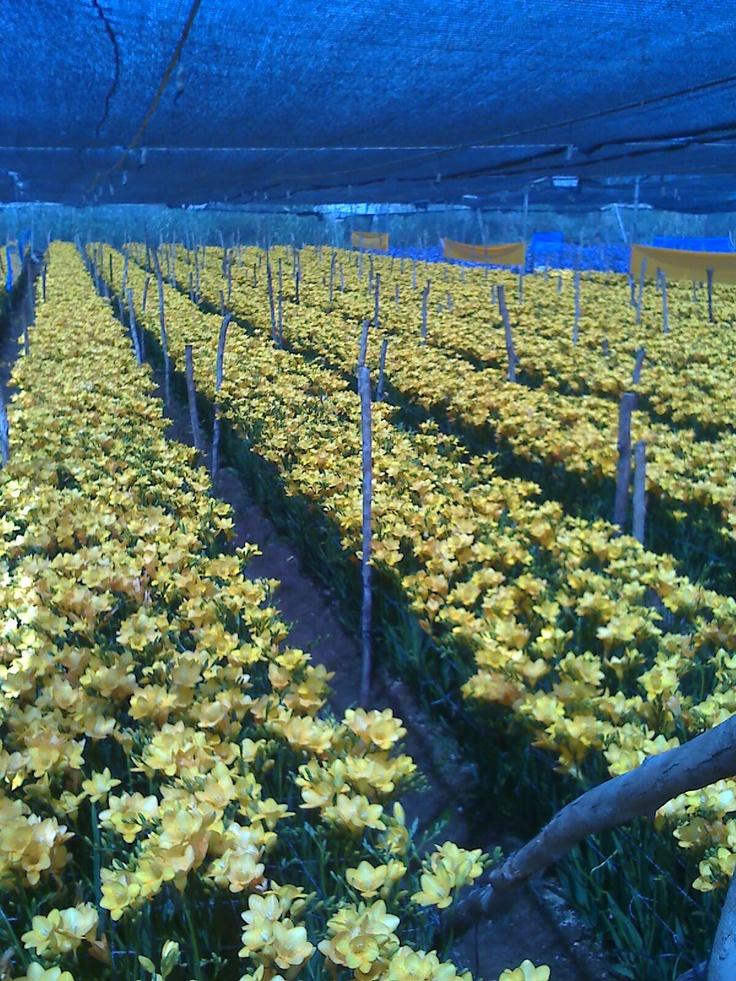 Yellow freesia flowering in Morocco.