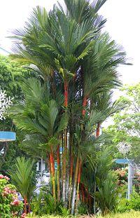 Lipstick Palm Trees (Cyrtostachys regia)