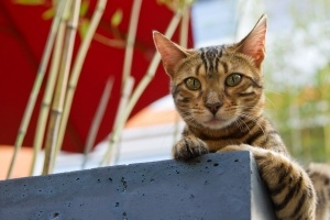 Bengal katten har sine aner fra Asia og leopardkatten. Den gang ble leopardkatten krysset  med Amerikansk korthåret og avkomme der ble igjen krysset med faren. Dermed ble... http://www.kattergisbort.no/2012/09/29/fakta-om-katterasen-bengal/ #bengal #cat #cats #katter #katt #fakta #husdyr