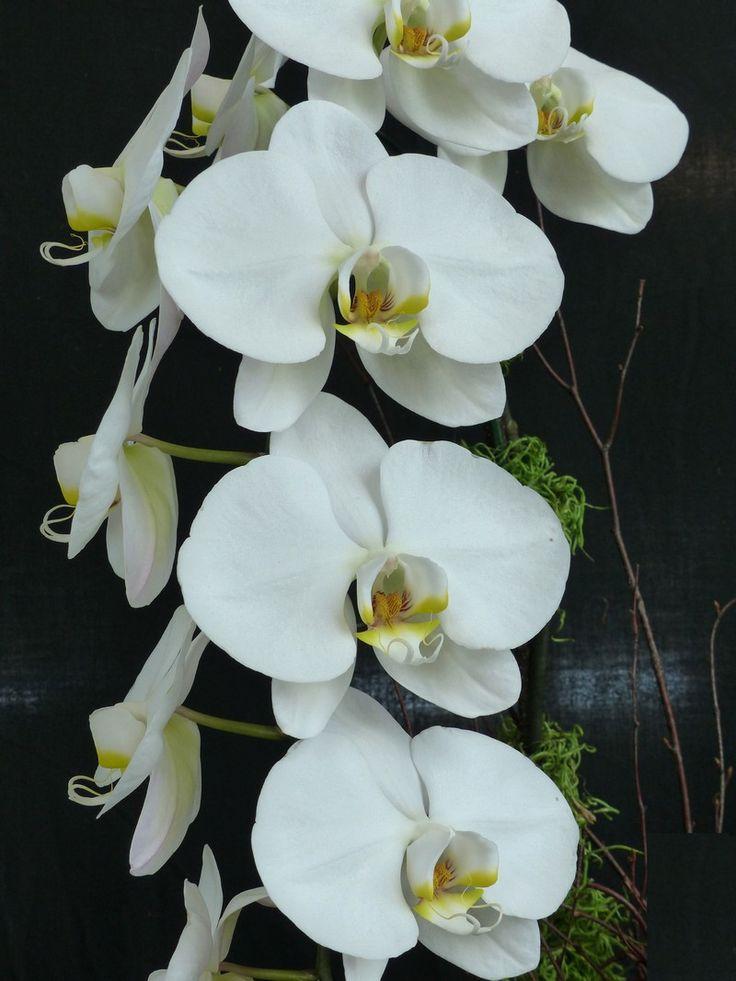orchidee grosse fleur