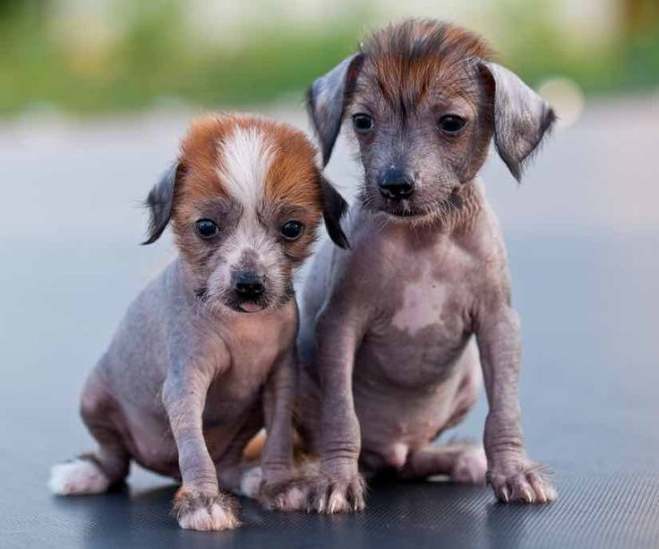 small dog breed Chinese crested