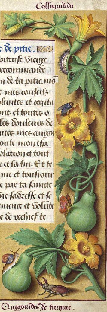 Quegourdes de Turquie - Colloquintida (Jussieu voyait dans cette miniature la coloquinte (Citrullus Colocynthis L.), et Decaisne la citrouille (Cucurbita Pepo L.). Mais d'après le Dr Bonnet, il est plus probable que ce soit le Cucurbita moschata Duch., ou «courge d'Afrique, barbarine, courge des Bédouins») -- Grandes Heures d'Anne de Bretagne, BNF, Ms Latin 9474, 1503-1508, f°161r