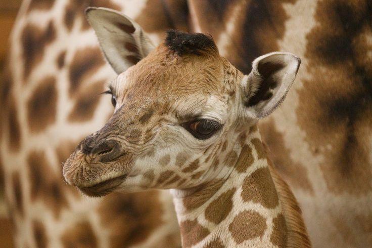 Žirafa Kleopatra porodila již 11. mládě!