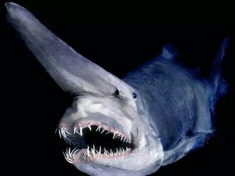 #Tiburón #Duende #Elf #Shark