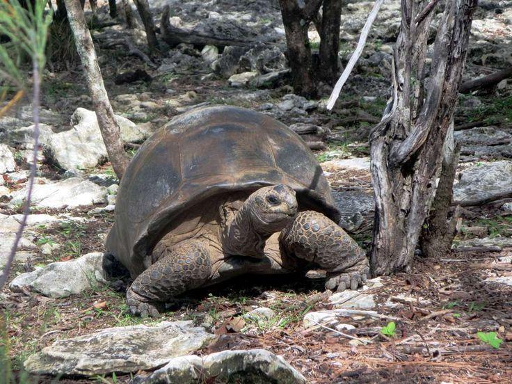 Some 100,000 giant tortoises (Aldabrachelys gigantea) range across Aldabra Atoll in the Seychelles.